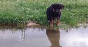 Il pastore tedesco e la sua prima nuotata: il suo approccio è... molto deciso!