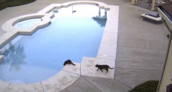 A cat sees another on the edge of the pool --- the temptation is irresistible. . .