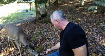 Un cerbiatto coraggioso si avvicina all'uomo per mangiare dalle sue stessi mani. Wow.