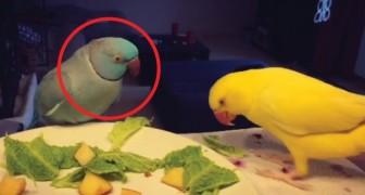 Il pappagallo maschio cerca di attrarre in ogni modo l'attenzione della compagna... Esilarante!