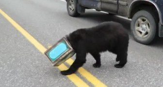 A bear lost and confused with its head stuck in a can! --- See its rescue!