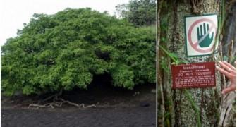 On l'appelle Arbre de la mort: voici le végétal le plus dangereux du monde