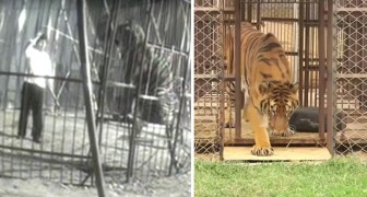 A tiger is freed after years in a cage ---  his first contact with grass is touching!