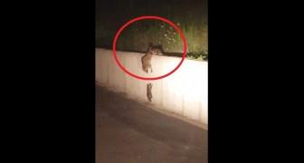 Deze kleine wasbeer kan niet over de muur heen komen, ten minste... NIET ALLEEN!
