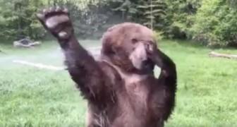 Un ours se retrouve face à un arroseur : Un véritable SPECTACLE. A voir