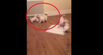 Een puppy stoeit met zijn moeder... Maar achter hen krijgt zijn vader nog veel meer te verduren!