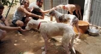 Deze honden werden uit een rijdend busje gegooid. Zij leren nu in kleine stappen weer op de mens te vertrouwen