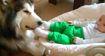 An Alaskan Malamute and a little baby --- their relationship is utterly charming!