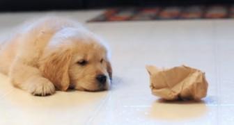 Un cucciolo lotta contro una busta di carta: la reazione del fratello è stupenda