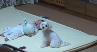 Het kind begint te huilen, maar de hond is in staat om hem te stoppen: kijk eens hoe!