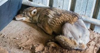 Un lupo arabo viene investito e lasciato a morire, ma non era ancora arrivata la sua ora
