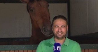 A horse insistently disturbs a reporter --- his reaction will make you smile!