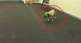 Den här hunden älskar pizza så mycket att det inte är klokt: titta på vad han gör när han får pizza!