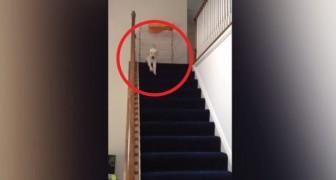 Ce chiot veut descendre les escaliers, mais sa manière de le faire est trop drôle!