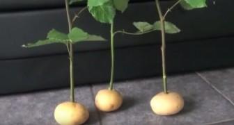Il met des tiges de rose dans les pommes de terre. La raison? Surprenant!