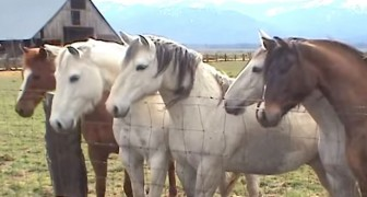 Horses run up to a fence --- The reason? It will make you smile!