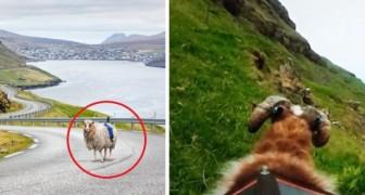 Google non percorre le strade della sua isola: così una ragazza decide di usare... le pecore