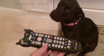 She finds a chewed -up remote control --- the reaction is hilarious!