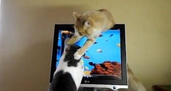 Due gatti e il filmato di un acquario: la caccia è uno spasso!