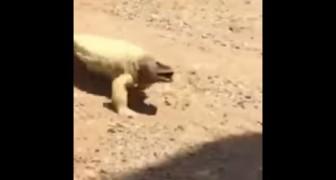 Een hagedis beweegt zich over het warme zand: kijk wat het diertje doet als hij uiteindelijk de schaduw bereikt