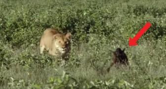 Una leona captura un gnu apenas nacido, pero la escena que sigue no es aquella que esperas