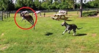 Ein Hund und ein Känguru spielen zusammen. Hättet ihr gedacht, dass sie sich so verhalten?