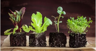 Here's how to grow your own lettuce in record time . . . starting today!
