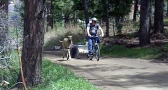 Un gran danes corre cerca al patron en bicicleta. Mira que cosa ocurre cuando se cansa!