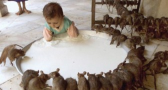Voici le temple indien étonnant où l'on vénère 20 mille rats sacrés