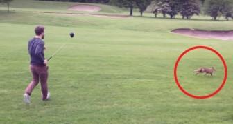 Le renard veut voler l'équipement du golfeur : la bataille est hilarante