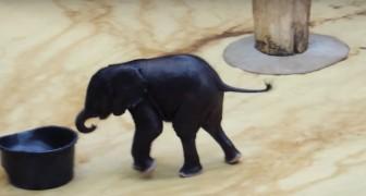 Un petit éléphant voit une bassin d'eau: ses jeux sont hilarants!