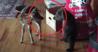 Cucciolo di orso incontra cerbiatto: il mix di curiosità e timore è esilarante