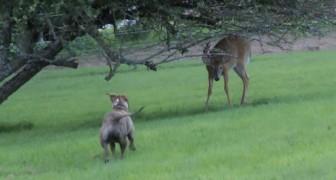 Un pit bull si avvicina ad un cervo: il modo in cui giocano è delizioso