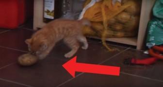 Gattino alle prese con una patata: il gioco è un mix di terrore e divertimento