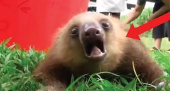 Il verso del bradipo? Assolutamente adorabile... come lui!