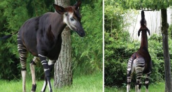 On l'appelle l'okapi, « la girafe des forêts »: le voici dans toute sa fragile splendeur.