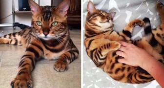 Prodigi di madre natura: questo gatto del Bengala è così perfetto da sembrare irreale