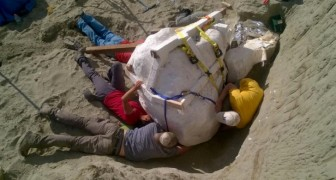 Ritrovato un esemplare integro di T-rex : il suo cranio dà un'idea delle spaventose dimensioni!