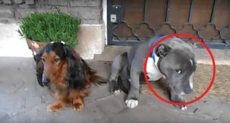 Någon har tuggat på skorna: ni måste bara se på hur dessa hundar reagerar på förhöret!