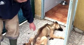 Era così debole che si accasciò sulla porta del veterinario: guardate che trasformazione!