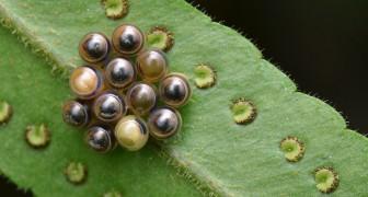 Perle, caramelle e piccoli vasi: ecco le uova degli insetti come non le avete mai viste