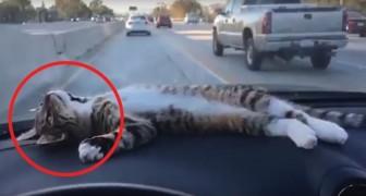 Hij besloot om zijn kat mee te nemen voor een ritje in de auto, maar hij had niet gedacht dat de kat zo zou reageren...