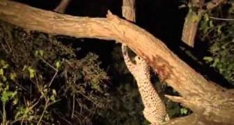 Ein Leopard mit einem guten Herzen