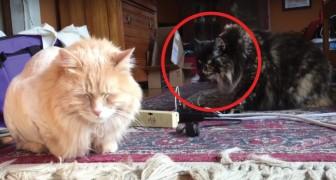 Een kat wordt geschoren. De reactie van de andere kat? Niet echt vriendelijk...