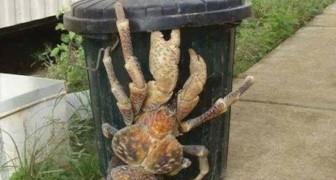 Dimenticate i graziosi paguri: questo gigantesco granchio è in grado di aprire le noci di cocco