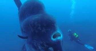Mergulham para explorar o fundo do mar e encontram um peixe gigantesco!