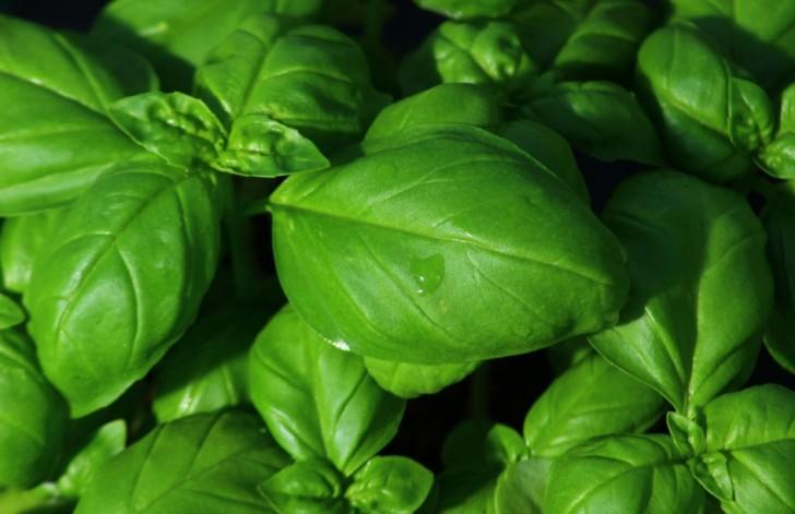 L 39 astuce de l 39 agriculteur comment faire pousser du basilic dans des broussailles - Comment faire pousser du basilic ...