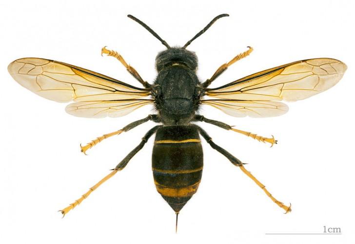 Vespa velutina, fa parte degli insetti alloctoni