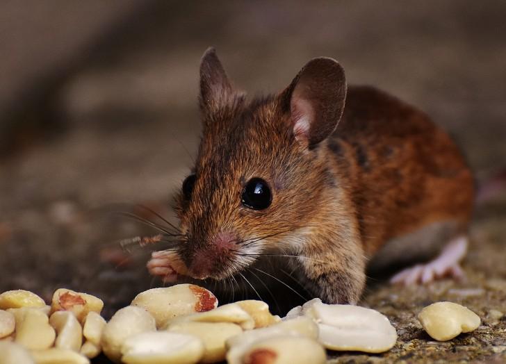 Se Débarrasser D Une Souris comment se débarrasser des souris qui envahissent votre maison