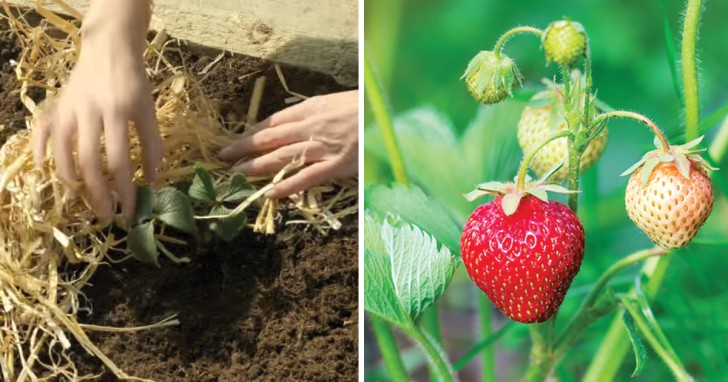 Apprenez cultiver des fraises avec ce mini guide c 39 est plus facile que vous ne le pensez - Comment cueillir des fraises ...